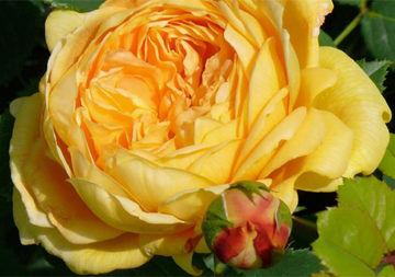 Glückskette-Rose für die Kinderhilfe