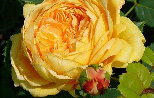 Die Rose der Glückskette